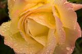 Peace Rose_582a