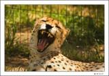 Cheetah_579i