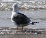 Alternate Plumaged Lesser Black-backed Gull