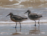 Molting into Alternate Plumage Red Knot