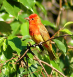 1st Spring Male Summer Tanager