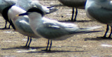 Alternate Plumaged Sandwich Tern