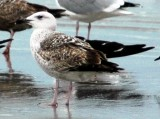 1st Cycle Great Black-backed Gull