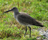 Eastern Willet, Alternate Plumage