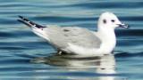 Basic Plumaged Bonaparte's Gull
