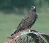 Immature White-tailed Hawk
