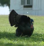 Male Tom Wild Turkey