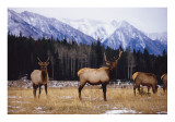 bull Elk Banff 2
