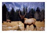 bull Elk Banff 3