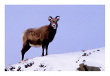 goat1a.jpg
