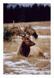 Bull Elk Banff
