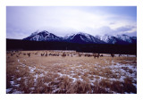 Elk Herd Banff