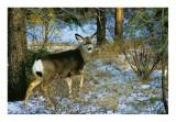 Mule deer #2.
