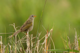 Wedge-tailed Grassfinch