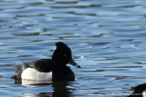 Hybrid tufted duck x ring-necked duck*