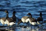 Brent goose (sub.sp. hrota)