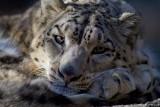 Snow Leopard - Bronx Zoo