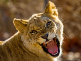 Lioness - Bronx Zoo (Nice Kitty)