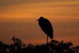 Great Blue Heron Sunrise Silhouette