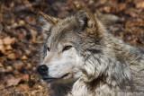 Wolf 6750