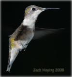 Evening Hummingbird Visit