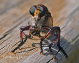 Genus Promachus - Giant Robber Fly with lunch