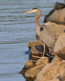 Blue Heron competing for our fishing space