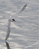 A turning Tern