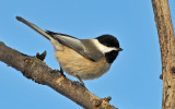 Chickadee in the Sunlight
