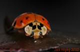 Japanese Beetle up close