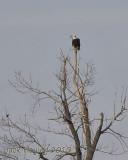 Bald Eagle at Lake Loramie