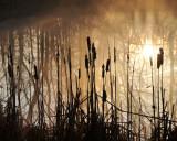 Sunrise Cattails