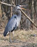 Squawking Heron