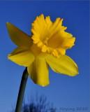 Evening Daffodil