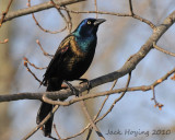 Boat tailed Grackle in the morning sun