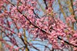 Redbuds in full bloom