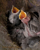 Hungry Chickadees (about 12 days old)