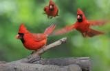 Cardinal Montage