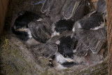 Two have flown the coup, Five Chickadees remain