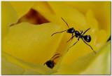 Ants on cactus bloom
