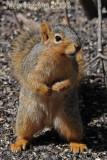 Red Squirrel Posing