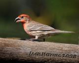 House Finch ( Carpodacus mexicanus , male )