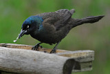 Boat-Tailed Grackle opens a sunflower seed