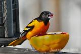 Bills Bird