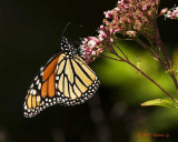 CRW_8477-Monarch.jpg