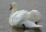 mute swan cob 2
