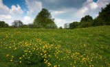 Buttercups on the Westwood.jpg