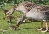 Hornsea Mere Goose chicks 3