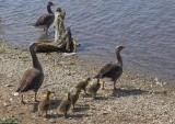 Hornsea Mere Goose chicks 2