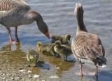 Hornsea Mere Goose chicks